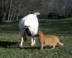 Goats love cats