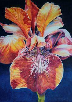 """Amy Rebella. """"Wild Iris"""" colored pencil over watercolor pencil,"""