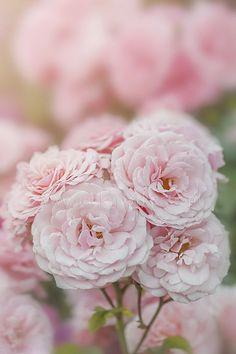 Roses by Jacky Parker