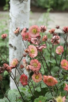 Geum 'Flames of passion' Knikkend nagelkruid - Garten Cottage Garden Plants, Succulents Garden, Planting Flowers, Flower Gardening, Gardening Tips, Outdoor Plants, Outdoor Gardens, Design Floral, Cut Flowers