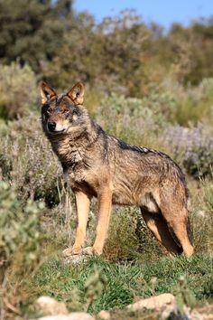 °Iberian Wolf by Ian MacFadyen