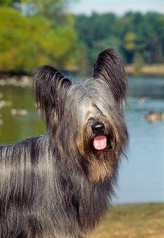 Results for Skye Terrier - Animal Stock Photos - Kimballstock Skye Terrier, Terriers, Terrier Breeds, Dog Breeds, Scottish Terrier, Animal Pics, Mans Best Friend, Mammals, Freedom