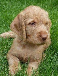 Wirehaired Vizsla by tonia I Love Dogs, Cute Dogs, Dog Bike Trailer, Wirehaired Vizsla, Funny Animals, Cute Animals, Biking With Dog, Vizsla Puppies, Weimaraner