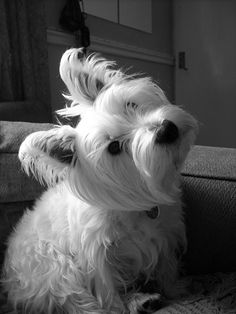 My Westie, she's two years old now and she's my beautiful girl.
