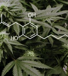 "Is Cannabigerol (CBG) The Ultimate Cannabinoid? Cannabigerol (CBG) is the ""stem cell"" for many of the chemicals in marijuana, including THC and CBD. It also has a number of medical properties that researchers are just starting to uncover. Cannabigerol happens to be responsible for most of marijuana's medical effects, but many aren't aware that this chemical even exists. That's because CBG works behind the scenes, which scientists have only recently started to investigate."
