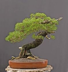 From Wednesday May 18 to Sunday, May 29 there will be a large exhibit of professional bonsai in the Bontanical Garden Munich, Germany. Pine Bonsai, Bonsai Trees, Beautiful Forest, Greenhouse Gardening, Munich Germany, Bonsai Garden, Ancient Art, Botanical Gardens, Wednesday
