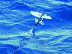 Photos of Flying Fish | Sport Fishing Magazine
