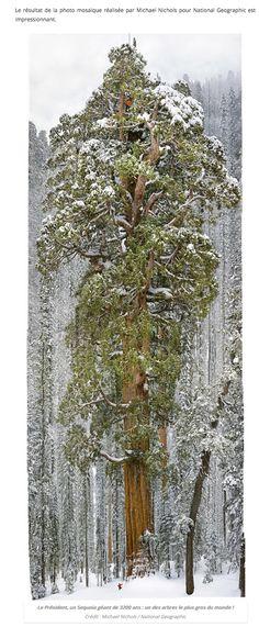 Le plus grand sequoia du monde.....