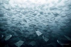 Pelagic Life - here a ray, there a ray, everywhere a ray!