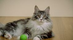 Take Care Of Maine Coon Doesn't Have To Be Hard. Read These 10 Tips