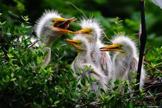 Three great egret chicks watch their sibling gulp down a fish. Photo by Chuanxiao Li.