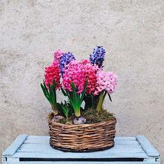 Una cesta alegre con 7 jacintos en flor adornada con musgo. Los jacintos se caracterizan por su intensa fragancia y sus llamativos colores. Hyancinths.