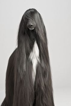 Beautiful Afghan Hound