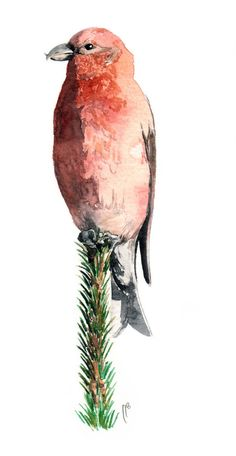 Bec Croise Des Sapins Aquarelle Naturaliste Illustration