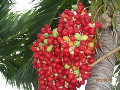 Saw this interesting tree in Cuba. Not sure what these fruits are. Gardening Books, Shrubs, Cuba, Fruit, Flowers, Plants, Shrub, Flora, Hedges