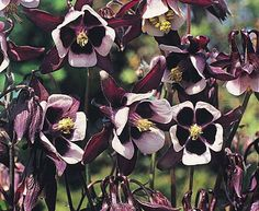 Aquilegia 'Magpie' seeds from Thompson & Morgan - experts in the garden since 1855 White Flowering Plants, Foliage Plants, Gothic Garden, Black And White Flowers, White Gardens, New Green, Garden Spaces, Flower Seeds, Magpie