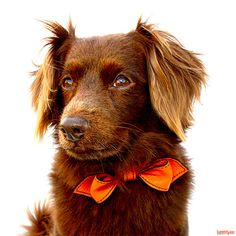 California Tangerine Martini Bowtie Collar by LuxeMutt on Etsy, $69.95