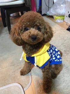Flower Pot Art, Flower Pots, Poodle Haircut, Golden Doodles, Toy Poodles, Poodle Mix, Doggies, Cuddling, Beautiful Things