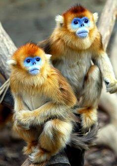 Golden Snub-Nosed Monkeys.