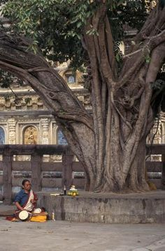 The name given to the tree at Bodh Gaya under which the Buddha sat on the night he attained enlightenment. The tree itself was a type of fig with the botanical name Ficus religiosa. In the centuries after the Buddha, the Bodhi tree became a symbol of the Buddha's presence and an object of worship. King Asoka's daughter, the nun Sanghamitta, took a cutting of the tree to Sri Lanka where it still grows in the island's ancient capital of Anaradapura.