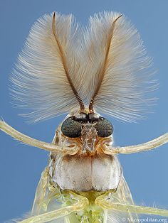 Midge's Antennas  by Dark Roasted Blend: Glamorous Insects!