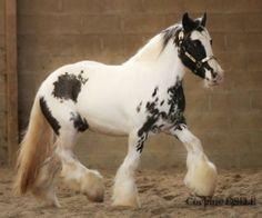 frisons, irish cob, frison, gypsy cob, friesian, gypsy vanner, cheval, chevaux, horse, horses. - tovero?
