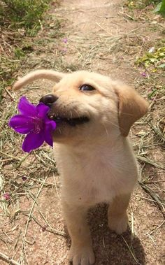 labrador retriever puppies Cutie with a flower - Puppy Care, Pet Puppy, Pomeranian Puppy, Cute Little Animals, Cute Funny Animals, Cutest Puppy Ever, Cute Dogs And Puppies, Doggies, Cute Puppy Pics