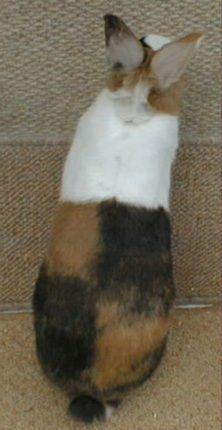 Checkers Tri-coloured Dutch Rabbit - amazing colouring