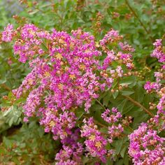 Best Flowering Shrubs for Hedges. Dwarf Crape Myrtle.Although many crape myrtles grow to be small- to medium-size trees, some varieties, such as the Filli series and Dazzle series, remain shrubby, producing full-size blooms on plants less than 5 feet tall.