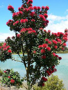 Metrosideros excelsa - Pohutukawa Tropical Landscaping, Front Yard Landscaping, Beautiful Dream, Big And Beautiful, Spring Blooming Trees, New Zealand Landscape, Foundation Planting, Flowering Trees, Mandala Design
