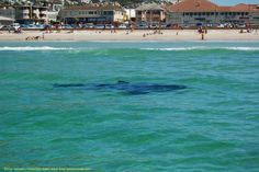 The two Great White sharks were easily spotted in the clear turquoise water of Fish Hoek Beach, South Africa, at the morning of September Shark Pictures, Cape Town South Africa, Out Of Africa, Places Of Interest, Beach Resorts, Places To See, Tourism, Beautiful Places, Scenery