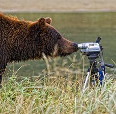 Alaskan Brown Bear (Project Noah) Camera Ready