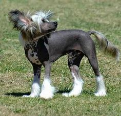 Chinese Crested Puppies Hairless. This one is black in color-black