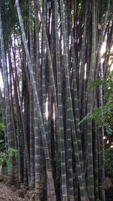 128 Best Bamboo Plants Images Bamboo Plants Plants Bamboo