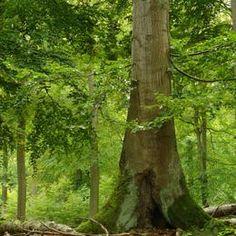 Liste du Patrimoine mondialRechercherAvancée  Forêts primaires de hêtres des Carpates et forêts anciennes de hêtres d'Allemagne