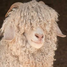 Beautiful curls throughout this angora goat's mohair. Cute Baby Animals, Farm Animals, Animals And Pets, Sheep Art, Sheep Wool, Goat Farming, Tier Fotos, Livestock, Belle Photo