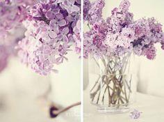 lilacs ah lilacs