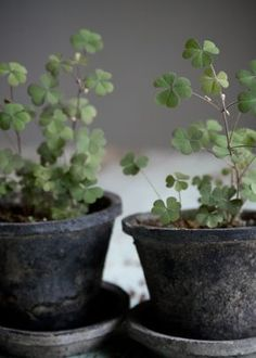 potted clovers