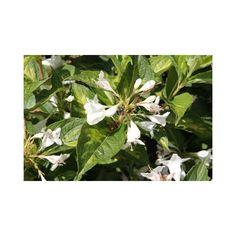 Weigela florida 'Milk and Honey' (Large Plant)