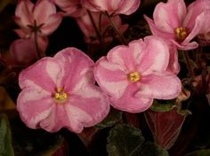 Glitter Surprise African Violet Chimera in Bloom | eBay  ~  K. Patton, 2003, #9280. Single chimera white sticktite star with bright pink stripe and fuchsia edge. Leaves medium green, plain, pointed, serrated. Standard.