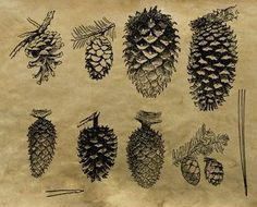 Pine cones illustration / Pigne, illustrazione