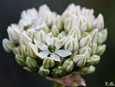 Allium nigrum ?