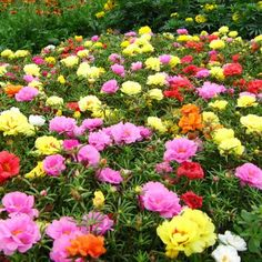 0a3f0b1a2eea09cfdfb0be383fb0e3ad.jpg (450×450) Beautiful Portulaca Flowers.