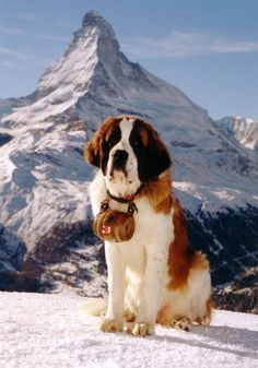 The Saint Bernard was developed in medieval Switzerland as a cart hauler & companion pet for the monks of the Bernardine Hospice.  The Saint Bernard is a kind breed, benevolent with children, but its bulk makes it unsuitable for most urban living.  The Saint Bernard comes in long- and shorthaired varieties- both handle cold well.