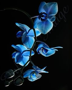 Rare Blue Mystique Orchid