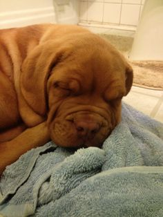 #Dogue de #Bordeaux -sleepy #puppy