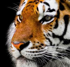Beautiful Tiger Portrait - by Gellinger    #animals #photography