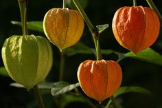 Physalis by Dragan* on Flickr.