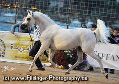 COL CORA (*02) (Wagner x Catika)  Breeder: Az. Agr. Il Colle di Silva/ Italy Owner: Dubai Arabian Horse Stud/ UAE ArabianFlashlights.com * FilCoARt