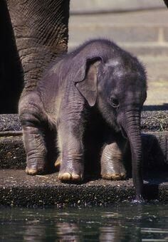 Baby elephant being being hesitant yet extremely cute